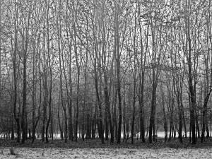 Bomenrij1